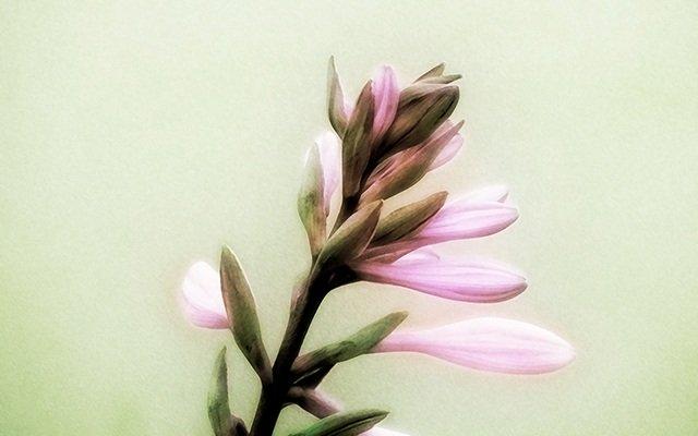 Soft Pink Flowers Wallpaper
