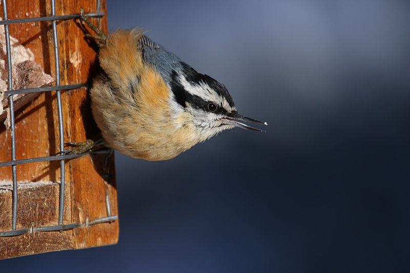 Red-breasted Nuthatch Bird Wallpaper