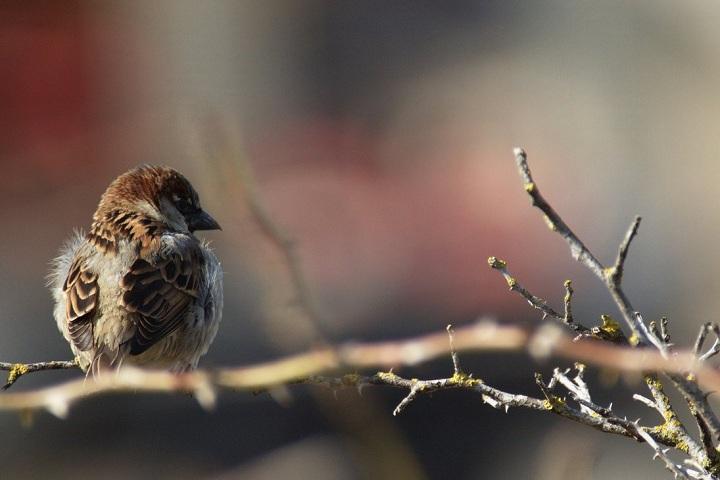 Sparrow Wallpaper 1