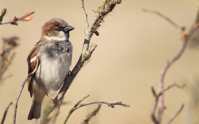 Sparrow Wallpaper 2