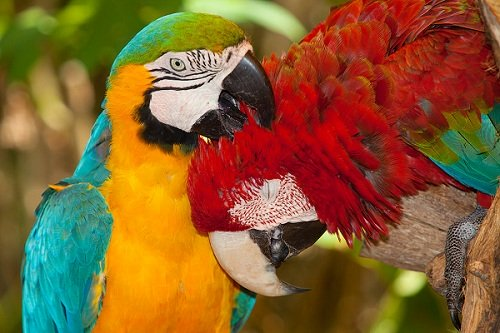 Grooming Buddies - Two Colorful Macaws Grooming Each Other