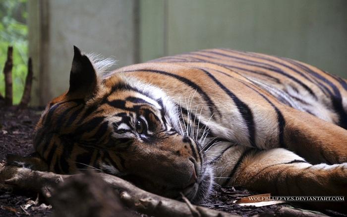 Asleep Tiger Wallpaper