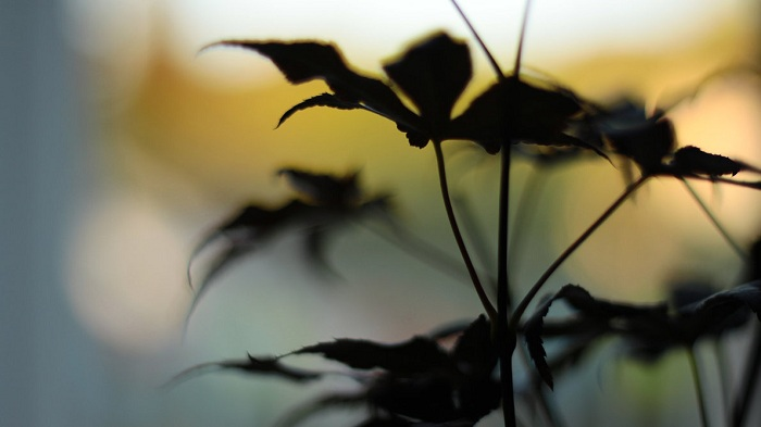 Maple leaves Silhouette Wallpaper