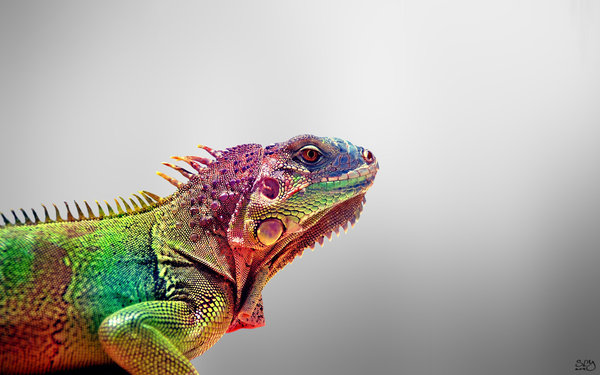 Colorful Iguana Wallpaper