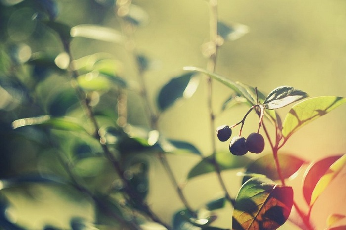 Berries Wallpaper